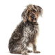 Sitting brown Shaggy Korthals Griffon dog, isolated on white - PhotoDune Item for Sale