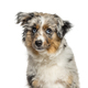 Close-up of a cute american shepherd, isolated on white - PhotoDune Item for Sale