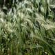 Hordeum Murinum, false, wall barley, green grass background. - PhotoDune Item for Sale