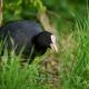 Eurasian coot (Fulica atra) - PhotoDune Item for Sale