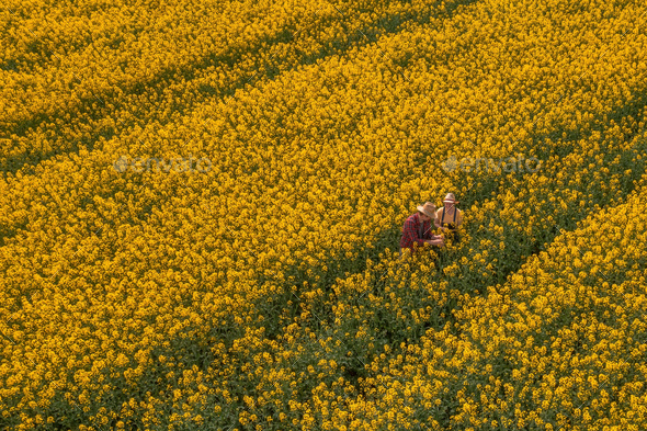 Aerial view of two farmers, man and woman, working in blooming rapeseed field - Stock Photo - Images
