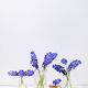 Tender blue muscari flowers in glass jugs - PhotoDune Item for Sale
