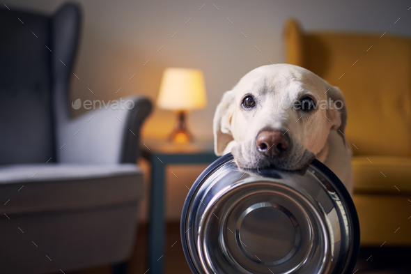 Hungry dog with sad eyes is waiting for feeding at home - Stock Photo - Images