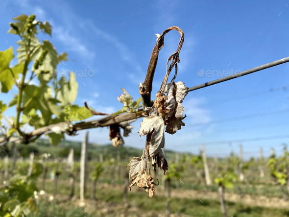 dried grape vine - Stock Photo - Images