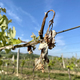 dried grape vine - PhotoDune Item for Sale