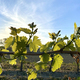 vine with leaves - PhotoDune Item for Sale