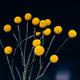 Craspedia globosa dry flowers - PhotoDune Item for Sale