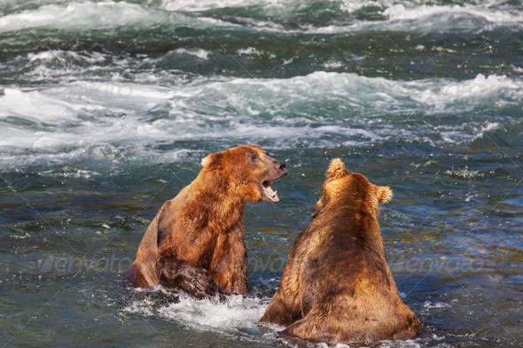 Bear on Alaska - Stock Photo - Images