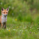 Young red fox standing on blossoming meadow in sunlight - PhotoDune Item for Sale