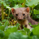 Pine marten peeking out from plants in summer nature - PhotoDune Item for Sale