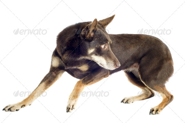 kelpie - Stock Photo - Images
