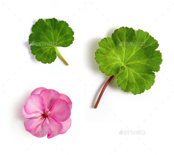 geranium flower and leaves - Stock Photo - Images