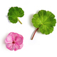 geranium flower and leaves - PhotoDune Item for Sale