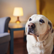 Portrait of cute senior labrador retriver at home - PhotoDune Item for Sale