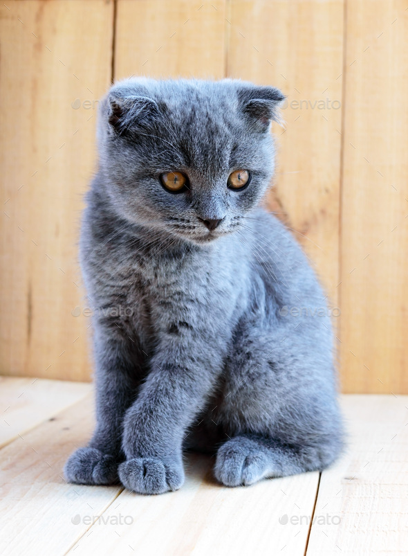 Kitten Scottish breed with cropped ears. Watch carefully. - Stock Photo - Images