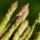 Spears of Fresh green asparagus in the sun, copy space for text - PhotoDune Item for Sale