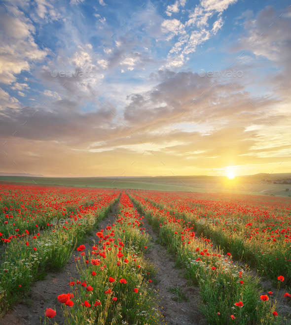 Rows of poppies flowers at sunset. - Stock Photo - Images