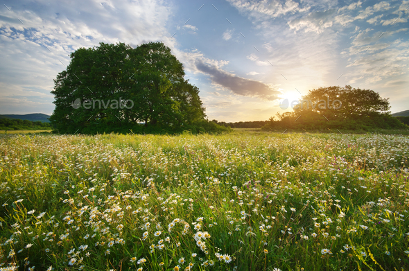 Beautiful camomile meadow in mountain at sunset. - Stock Photo - Images