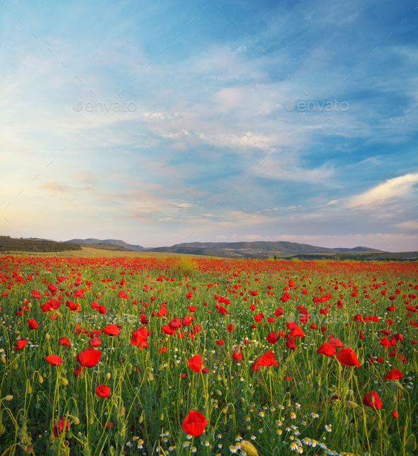 Poppies meadow landscape. - Stock Photo - Images