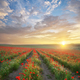 Rows of poppies flowers at sunset. - PhotoDune Item for Sale