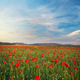 Poppies meadow landscape. - PhotoDune Item for Sale