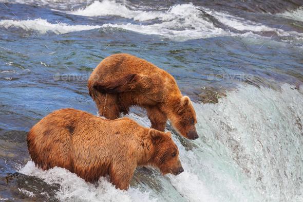 Bear in Alaska - Stock Photo - Images