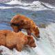 Bear in Alaska - PhotoDune Item for Sale