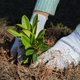 Gardener puts rhododendron bush in ground. - PhotoDune Item for Sale