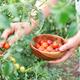 Woman farmer picking ripe cherry tomatoes - PhotoDune Item for Sale