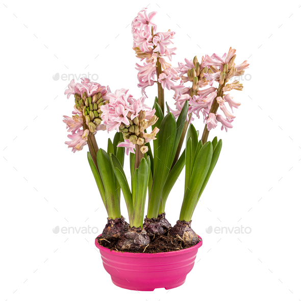 Pink blooming hyacinth - Stock Photo - Images