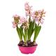 Pink blooming hyacinth - PhotoDune Item for Sale
