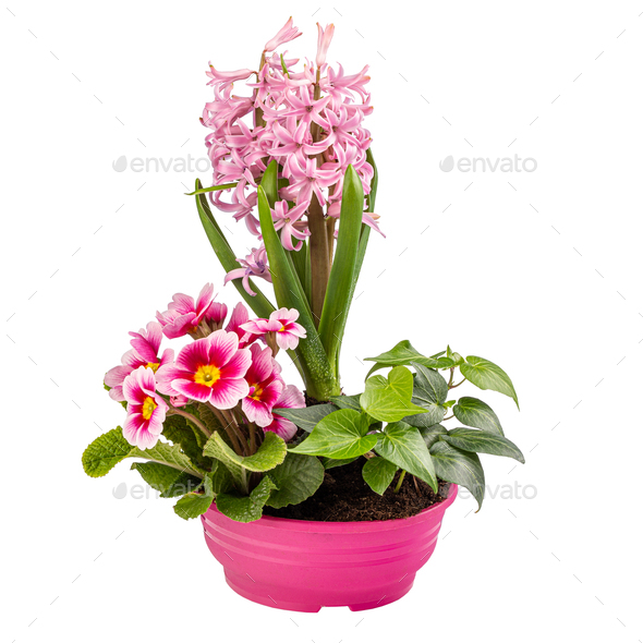 Beautiful delicate pink primrose and hyacinth flowers - Stock Photo - Images