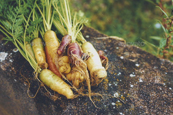 Colorful group of carrots just harvested - Stock Photo - Images