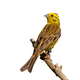 Yellowhammer sitting on branch in summer isolated on white - PhotoDune Item for Sale