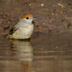 Female of eurasian blackcap bathing in water in summer - PhotoDune Item for Sale
