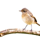 European stonechat sitting on branch cut out on blank - PhotoDune Item for Sale