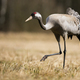 Common crane approaching on field in autumn nature - PhotoDune Item for Sale
