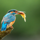 Beautiful common kingfisher with colorful feathers holding a fish - PhotoDune Item for Sale