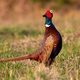 Common pheasant lekking on field in springtime nature - PhotoDune Item for Sale