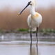 Eurasian spoonbill standing in wetland in vertical shot - PhotoDune Item for Sale