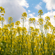 Close up view of rapeseed field - PhotoDune Item for Sale