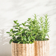 Mint and Rosemary Herbs in Pots. - PhotoDune Item for Sale