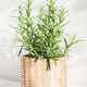 Rosemary Herbs in Knitted Pot. - PhotoDune Item for Sale