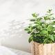 Fresh Mint Herb. - PhotoDune Item for Sale