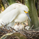 Snowy Egret with Chicks - PhotoDune Item for Sale