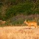 Undisturbed roe deer grazing through dry stubble in summer - PhotoDune Item for Sale