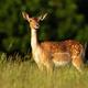 Fallow deer hind standing on meadow in summer evening sun - PhotoDune Item for Sale