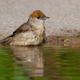 Cute female of eurasian blackcap sitting by the water alone - PhotoDune Item for Sale