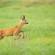 Roe deer disturbed on the vibrant green meadow in summer - PhotoDune Item for Sale