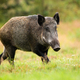 Adult female of wild boar running alone on the forest clearing - PhotoDune Item for Sale